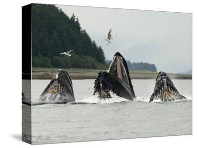 Humpback Whale Bubblenet Feeding, by Tom Walker