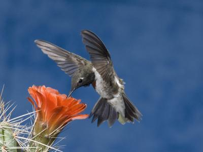 Male Black-Chinned Hummingbird (Archilochus Alexandri) at Claret Cup Cactus, Ramsey Canyon, USA by Tom Walker