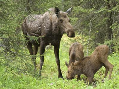 Moose Cow with Two Calves in Spring (Alces Alces), Kenai, Alaska, USA by Tom Walker