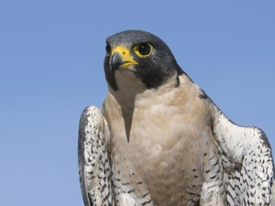 Peregrine Falcon (Falco Peregrinus), San Juan Mountains, New Mexico by Tom Walker