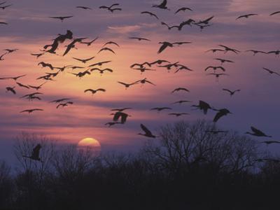 Sandhill Cranes Flying to Roost (Grus Canadensis), Platte River, Nebraska, USA by Tom Walker