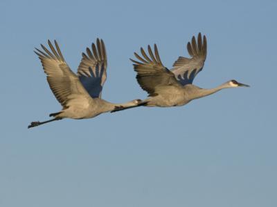Sandhill Cranes in Flight (Grus Canadensis), Bosque Del Apache, New Mexico, USA by Tom Walker