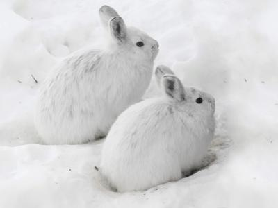 Snowshoe Hares in Winter Pelage Camouflaged in Snow (Lepus Americanus), Alaska, USA by Tom Walker