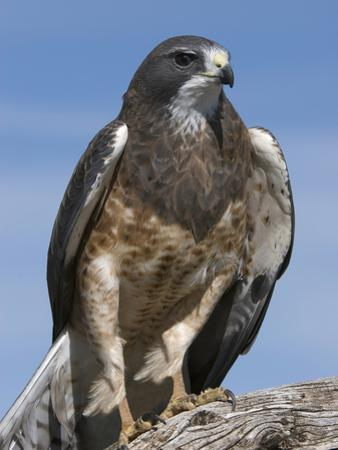 Swainson's Hawk (Buteo Swainsonii), San Juan Mountains, New Mexico by Tom Walker