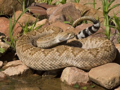 Western Diamondback Rattlesnake (Crotalus Atrox) at a Desert Waterhole, Western USA by Tom Walker