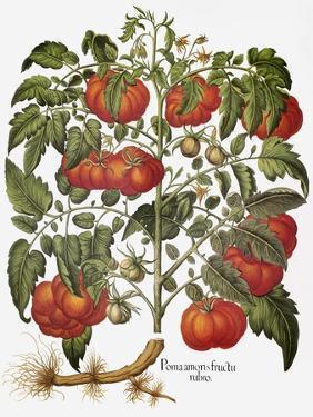 Tomato, 1613