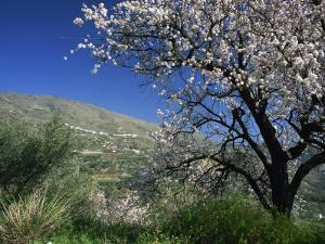 Almond Blossom in Springtime in the Alpujarras, Granada, Andalucia, Spain, Europe by Tomlinson Ruth