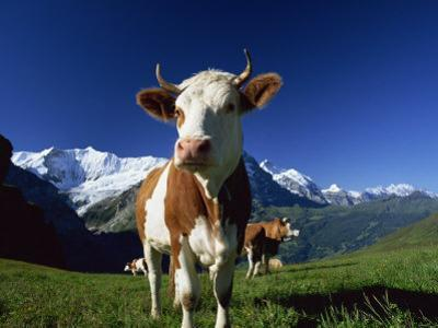 Brown and White Cow in Alpine Meadow, First, Grindelwald, Bern, Switzerland, Europe