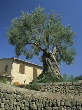 Old Olive Tree in the Garden of a Village House in Deya, Majorca, Balearic Islands, Spain, Europe by Tomlinson Ruth