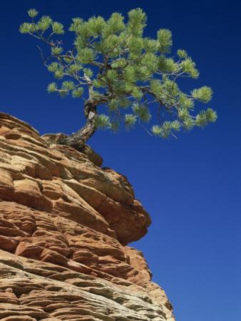 Solitary Ponderosa Pine on Top of a Sandstone Outcrop in the Zion National Park, in Utah, USA