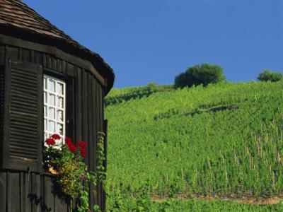 Vineyards on Hillside Behind Circular Timbered House, Riquewihr, Haut-Rhin, Alsace, France, Europe