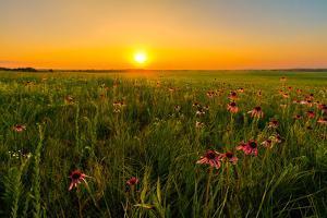 Sunset in A Prairie Field of Purple Coneflowers by tomofbluesprings