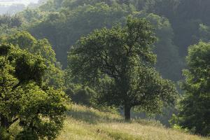 Apple Trees in Meadow, Roudenhaff, Mullerthal, Luxembourg, May 2009 by Tønning