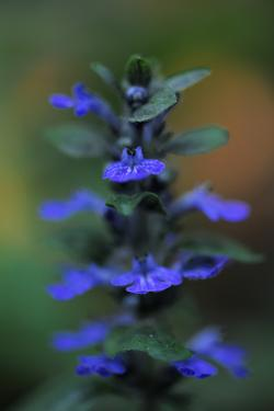Blue Bugle (Ajuga Reptans) in Flower, Bugleweed, Echternach, Mullerthal, Luxembourg, May 2009 by Tønning