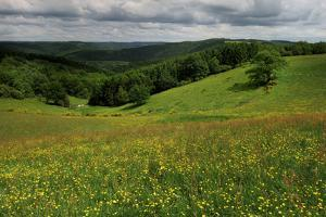 Buttercups (Ranunculus Acris) Flowering in a Meadow, Oesling, Ardennes, Luxembourg, May 2009 by Tønning