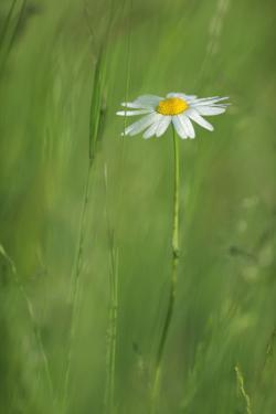 Marguerite - Oxeye Daisy (Leucanthemum Vulgare) in Flower, Roudenhaff, Mullerthal, Luxembourg by Tønning