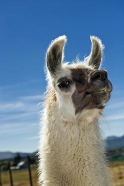 Llama by Tony Camacho