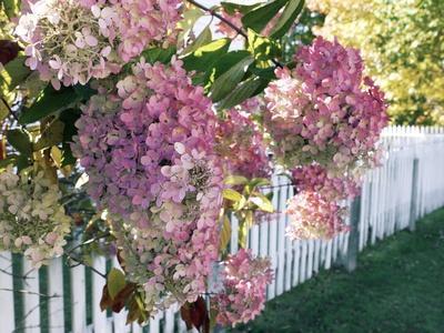 Hydrangea Garden Flowers