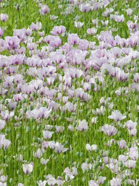 Opium Poppies (Papaver Somniferum) by Tony Craddock