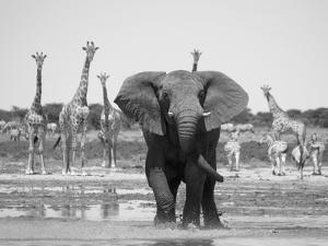 African Elephant, Warning Posture Display at Waterhole with Giraffe, Etosha National Park, Namibia by Tony Heald