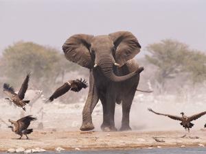 African Elephant, & Whitebacked Vultures by Waterhole, Etosha National Park, Namibia by Tony Heald