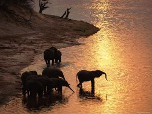 African Elephants Drinking in Chobe River at Sunset, Botswana, Southern Africa by Tony Heald