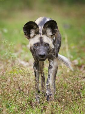 African wild dog (Lycaon pictus) portrait, Mana Pools National Park, Zimbabwe by Tony Heald