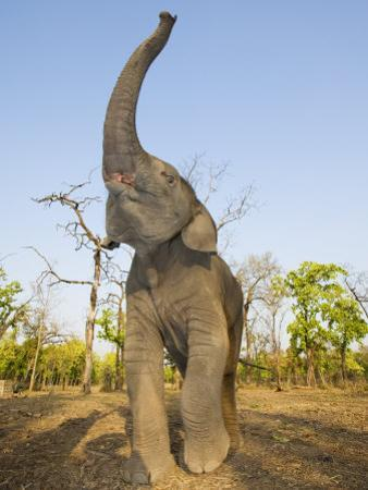 Asian Indian Elephant Holding Trunk in the Air, Bandhavgarh National Park, India. 2007 by Tony Heald