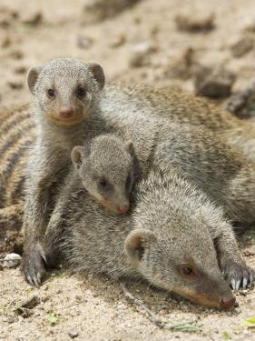 Banded Mongoose and Young, Etosha National Park, Namibia by Tony Heald
