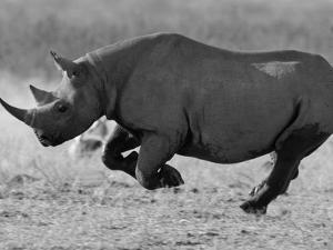 Black Rhinoceros, Running, Namibia by Tony Heald