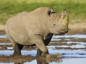 Black Rhinoceros, Walking in Water, Etosha National Park, Namibia by Tony Heald