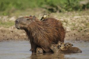 Capybara (Hydrochoerus Hydrochaeris) Female With Young by Tony Heald