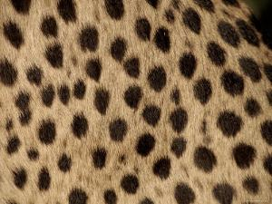 Cheetah Fur Detail by Tony Heald