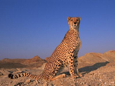 Cheetah, Tsaobis Leopard Park, Namibia