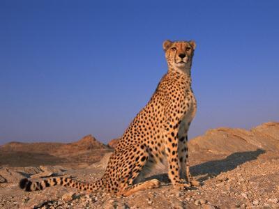 Cheetah, Tsaobis Leopard Park, Namibia by Tony Heald