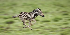 Common Zebra Foal Running (Equus Quagga) Etosha Np, Namibia, Digitally Enhanced by Tony Heald