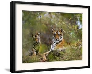 Female Tiger, with Four-Month-Old Cub, Bandhavgarh National Park, India by Tony Heald