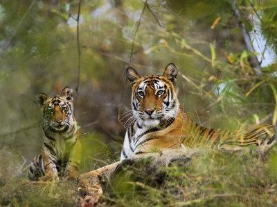 Female Tiger, with Four-Month-Old Cub, Bandhavgarh National Park, India