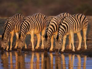 Four Common Zebra, Drinking at Water Hole, Etosha National Park, Namibia by Tony Heald