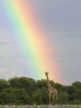 Giraffe, at End of Rainbow, Etosha National Park, Namibia by Tony Heald