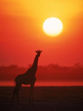 Giraffe Silhouette at Sunset, Namibia, Etosha National Park by Tony Heald