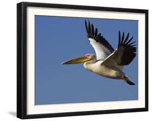 Great Eastern White Pelican Flying, Chobe National Park, Botswana by Tony Heald