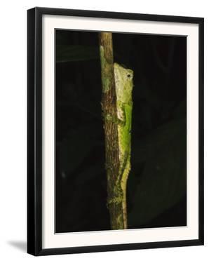 Green Mountain Agama in Rainforest at Night, Mt Kinabalu, Sabah, Borneo by Tony Heald