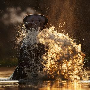 Hippopotamus splashing in pool in evening light. Mana Pools National Park, Zimbabwe by Tony Heald