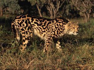 King Cheetah (Acinonyx Jubatus), De Wildt Game Park, South Africa by Tony Heald