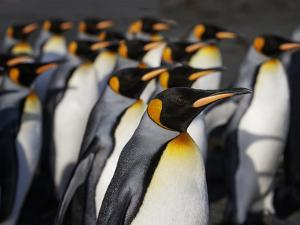 King penguin (Aptenodytes patagonicus) colony. Right Whale Bay, South Georgia by Tony Heald
