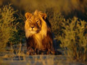Lion Male, Kalahari Gemsbok, South Africa by Tony Heald