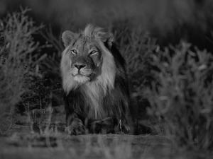 Lion Male, Kalahari Gemsbok, South Africa by Tony Heald