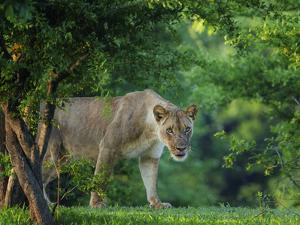 Lion (Panthera leo), female amongst trees. Mana Pools National Park, Zimbabwe by Tony Heald