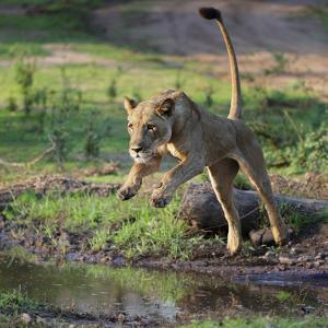 Lion (Panthera leo), female jumping over a stream. Mana Pools National Park, Zimbabwe by Tony Heald